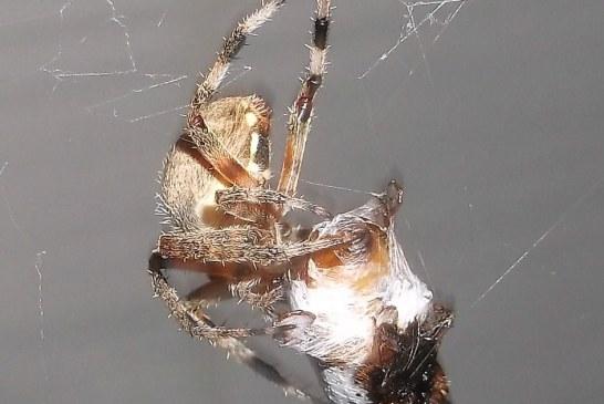 הדברה ביולוגית עכבישים
